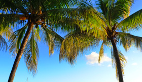 Palm Trees in Mauritius - Cunard Line