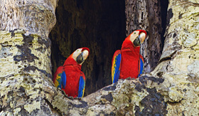 Cunard Line scarlet macaws in Carara National Park Costa Rica