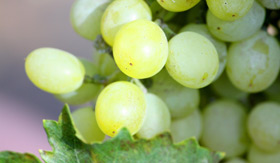 New Zealand Wine Grapes - Cunard Line