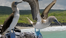 Galapagos Cruises blue footed booby San Cristobal Island