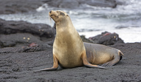 Galapagos cruises sea lion on a lava bed on Fernandina Island