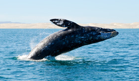 Gray whale breaching in Pacific Ocean