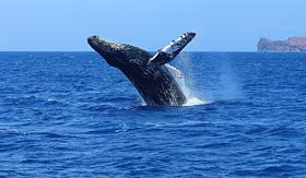 Humpback whales in Hawaii