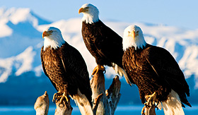 Holland America Line bald eagles perched on tree
