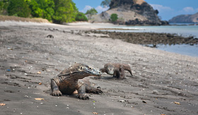 Holland America Line komodo dragons in Indonesia Komodo Island