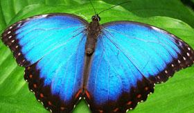 Blue Butterfly ontop of Green Leaf in Aruba
