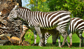 MSC Cruises - Zebras in South African Game Reserve