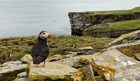 Norwegian Cruise Line Atlantic puffin on the rocks in Noss Island, Shetland Islands