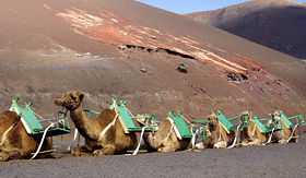 Norwegian Cruise Line camels at Timanfaya National Park in Lanzarote