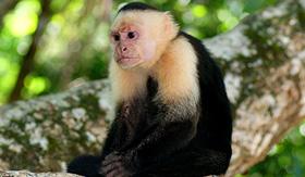 Norwegian Cruise Line capuchin monkey canopy
