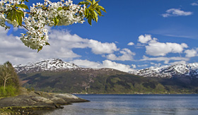 Norwegian Criuse Line Fruit blossom by the Hardanger Fjord in Norway