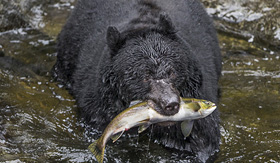 Oceania Cruises black bear catching salmon in Wrangell Alaska
