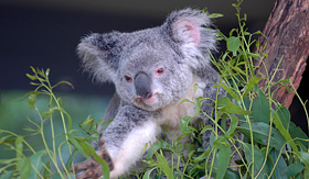 Oceania Cruises koala and eucalyptus Sydney Australia