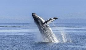 A breaching whale