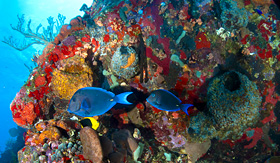 Paul Gauguin blue tangs and rock beauty near coral and sponges