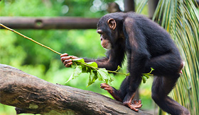 Princess Cruises a chimpanzee pan troglodytes at the Singapore zoo