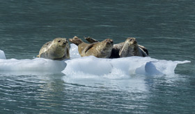 Seals laying on top of floating ice