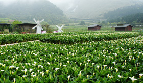 Princess Cruises Calla Lily in Yangmingshan National Park