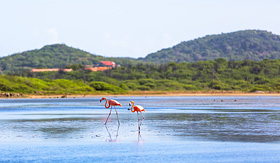 Princess Cruises flamingos walking in the water in Bonaire