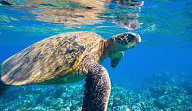 Princess Cruises green sea turtle swimming in ocean sea