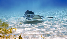 Princess Cruises stingray glides along the sandy sea bottom at Stingray City Grand Cayman