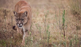 Princess Cruises the puma is walking in the field looking for prey