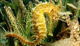 Princess Cruises thorny seahorse in seagrass