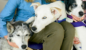 Princess Cruises three beautiful husky dogs
