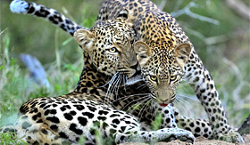 Regent Seven Seas Cruises mother and cub leopard