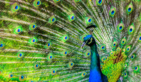 Regent Seven Seas Cruises - Peacock