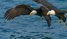 Royal Caribbean Bald Eagles Diving for Fish