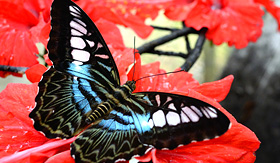Royal Caribbean bright butterfly on red flower