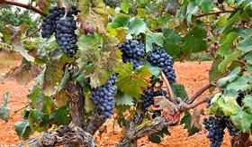 Royal Caribbean grapes in a vineyard Mallorca Spain