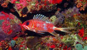 Royal Caribbean Longspine Squirrelfish caribbean coral