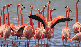 Royal Caribbean - Flamingos in Bonaire