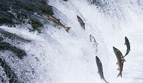 royal caribbean salmon swimming upstream in alaska