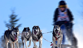 royal caribbean sled dog race alaska