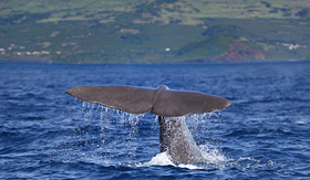 Royal caribbean sperm whale tail Azores