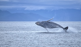 royal caribbean whale breaching in alaska
