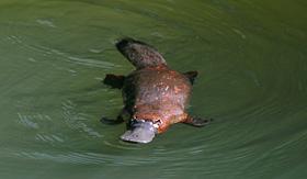 Royal Caribbean wild platypus Australia