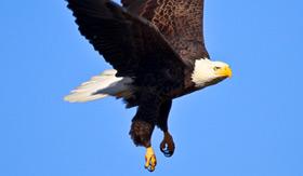 Seabourn Alaska Bald Eagle