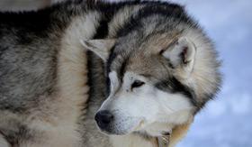 Seabourn Alaska Dog Sled