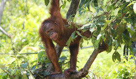Orangutan in jungle