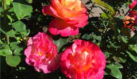 Rose Garden in Portland, OR