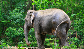 Seabourn thai elephant in wooded area