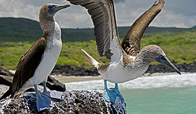 Silversea Cruises blue-footed booby in San Cristobal Island, Galapagos