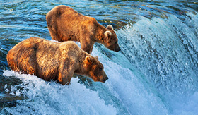 Silversea Cruises brown bears in Alaska