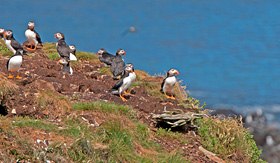 Silversea Cruises common puffin on a nest island near Elliston Newfoundland