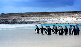 Silversea Cruises King Penguins in the Falkland Islands