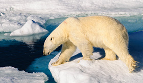 Silversea Cruises polar bear in Svalbard, Norway